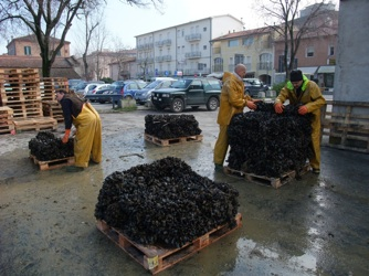 Mussels on pallets